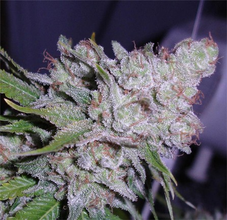 Berry White Medical Kush